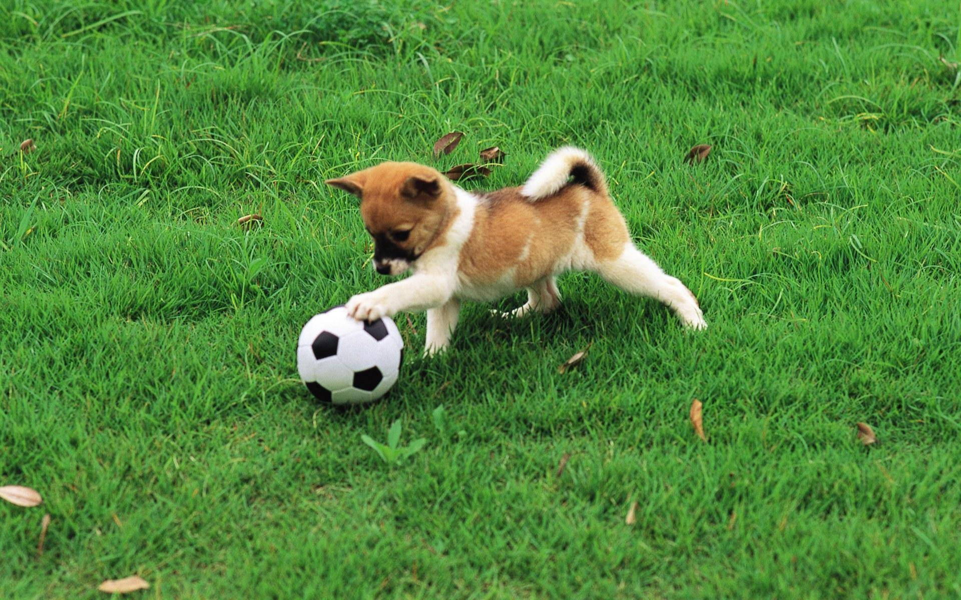 445831 dogs dog playing soccer